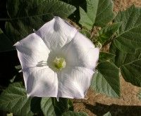 Datura_wrightii_flower_2002-10-08